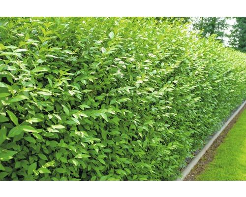10 x Troène FloraSelf Ligustrum vulgare ''Atrovirens'' H 40-60 cm botte ClickCo pour haie d''env 2 ml.