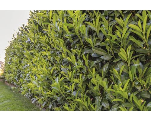 Laurier-cerise Prunus laurocerasus ''Caucasica'' H 60-80 cm ClickCo