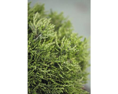 Faux cyprès nain Botanico Chamaecyparis lawsoniana ''Green Globe'' H 20-25 cm Co 3,7 l