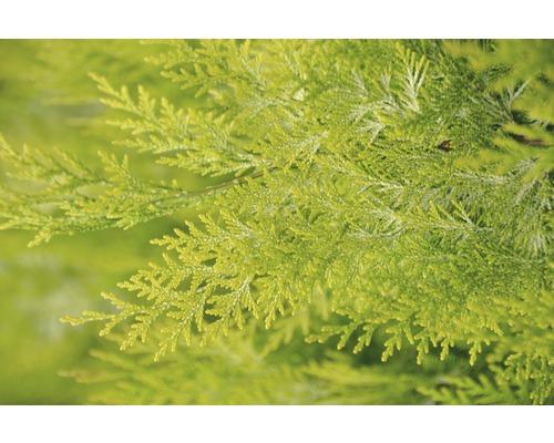 Faux cyprès jaune Botanico Chamaecyparis lawsoniana ''Ivonne'' H 20-30 cm Co 1,5 l
