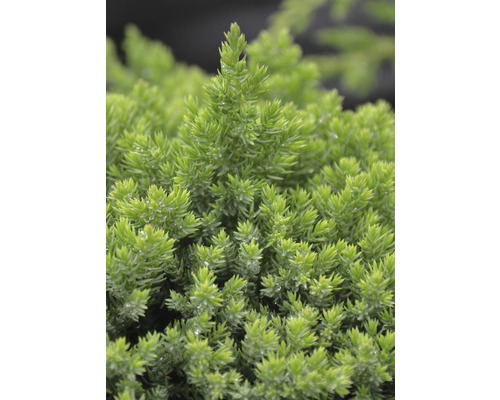 Genévrier rampant Botanico Juniperus procumbens ''Nana'' H 30-40 cm Co 3,7 l