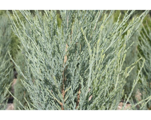 Genévrier de Virginie Juniperus scopulorum ''Blue Arrow'' H 40-50 cm Co 3,7 l