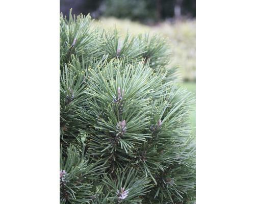 Pin des montagnes Botanico Pinus mugo ''Gnom'' H 25-30 cm Co 3,7 l
