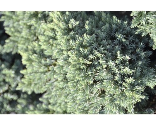 Genévrier rampant bleu Botanico Juniperus squamata ''Blue Star'' H 12-15 cm Co 1,5 l