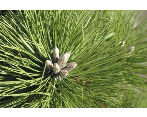 Pin noir Botanico Pinus nigra ''Hornibrookiana'' H 50-60 cm Co 15 L