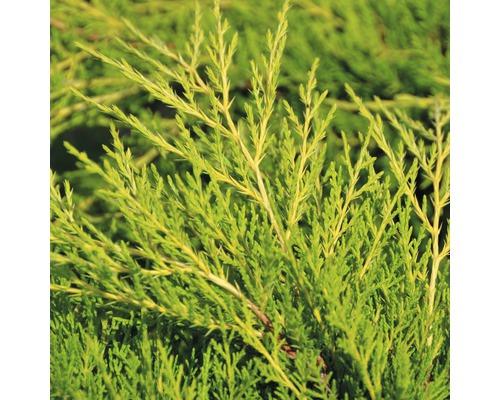 Genévrier jaune Botanico Juniperus media ''Old Gold'' H 15-20 cm Co 1,5 l