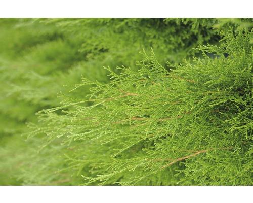 Thuya Botanico Thuja occidentalis ''Smaragd'' H 20-30 cm Co 1,5 l