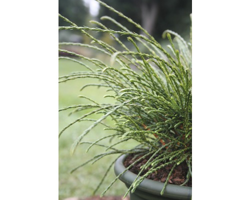 Thuya nain Botanico Thuja plicata ''Whipcord'' H 25-30 cm Co 3,7 l