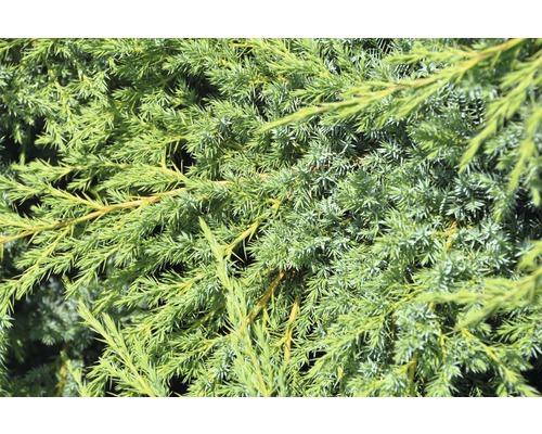 Genévrier nain Botanico Juniperus squamata ''Blue Swede'' H 20-25 cm Co 1,5 l