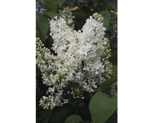 Lilas commun FloraSelf Syringa vulgaris ''Mme Florent Stepman'' h 60-80 cm Co 10 l