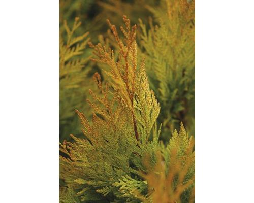 Thuya géant jaune Botanico Thuja plicata ''4ever'' GOLDY® H 40-50 cm Co 3,7 l