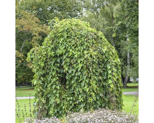 Mûrier FloraSelf Morus alba ''Pendula'' tronc 125 cm hauteur totale env. 150 cm Co 18 l