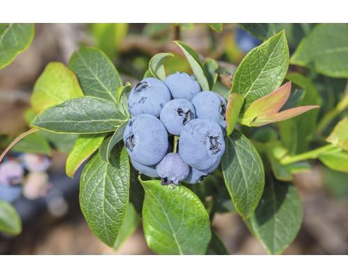 Myrtillier commun Hof:fruit Vaccinium corymbosum ''Blueray'' H 30-40 cm Co 3,4 l