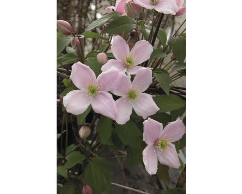 Anemonen Waldrebe Spalier FloraSelf Clematis montana ''Rubens'' H ca. 60 cm Co 6 L
