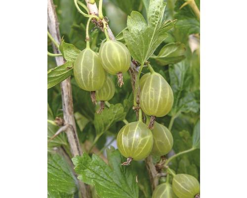 Groseillier à maquereaux vert Hof:fruit Ribes uva-crispa ''Karlin'' H 30-40 cm Co 3,4 l