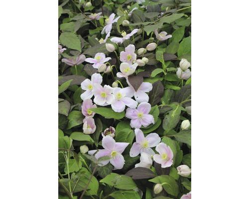 Anemonen Waldrebe Spalier FloraSelf Clematis montana ''Mayleen'' H ca. 60 cm Co 6 L