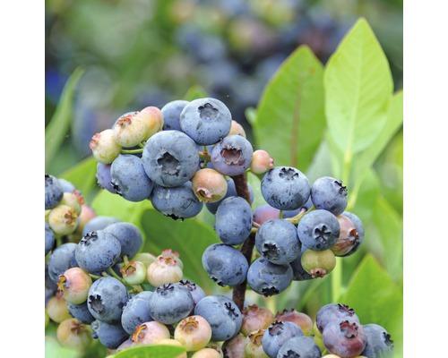Myrtillier commun Hof:fruit Vaccinium corymbosum ''Goldtraube'' H 30-40 cm Co 3,4 l