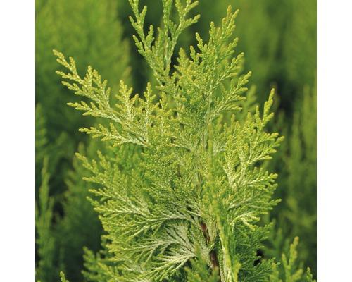 Faux cyprès jaune Botanico Chamaecyparis lawsoniana ''Ivonne'' H 40-50 cm Co 2,8 l