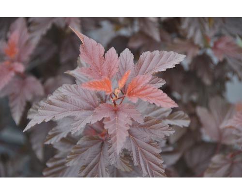 Physocarpe FloraSelf Physocarpus opulifolius ''Little Angel'' H 100-125 cm Co 18 L