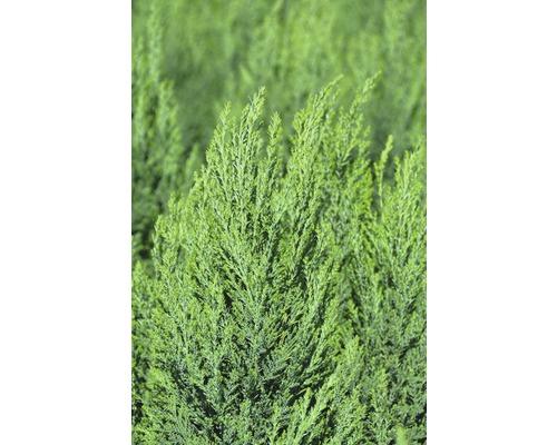 Faux cyprès Botanico Chamaecyparis lawsoniana ''Ellwoodii'' H 40-50 cm Co 2,8 l