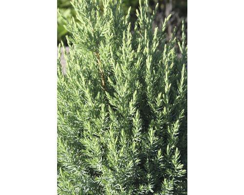 Genévrier de Chine Botanico Juniperus chinensis ''Stricta'' H 25-30 cm Co 2,8 l