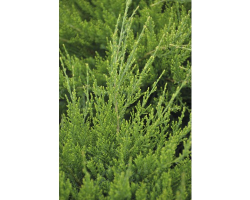 Genévrier hybride Botanico Juniperus media ''Mint Julep'' H 25-30 cm Co 2,8 l
