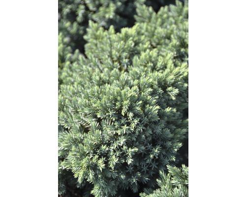 Genévrier rampant bleu Botanico Juniperus squamata ''Blue Star'' H 15-20 cm Co 2,8 l