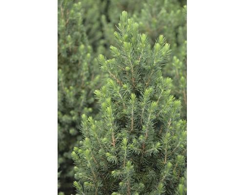 Épinette blanche Botanica Picea glauca ''Conica'' H 30-40 cm Co 2,8 l