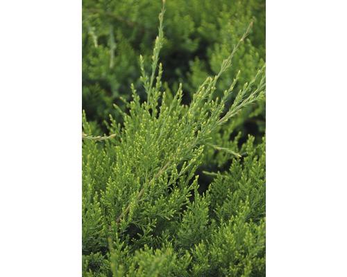 Strauchwacholder Botanico Juniperus media ''Mint Julep'' H 40-50 cm Co 6 L