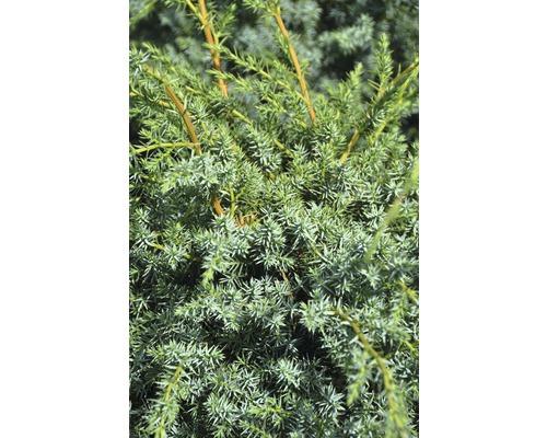 Genévrier de Chine Botanico Juniperus chinensis ''Blue Alps'' H 40-50 cm Co 6 l
