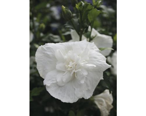 Hibiscus FloraSelf Hibiscus syriacus ''White Chiffon'' H 50-60 cm Co 4,5 l