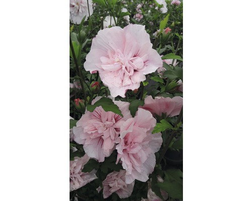 Hibiscus FloraSelf Hibiscus syriacus ''Pink Chiffon'' H 50-60 cm Co 4,5 l