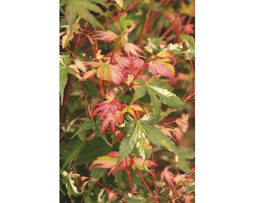Érable palmé à feuilles multicolores Acer FloraSelf palmatum ''Oridono Nishiki'' H 80-100 cm Co 10 l