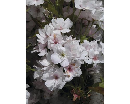 Cerisier à fleurs du Japon en colonne FloraSelf Prunus serrulata ''Amanogawa'' H 150-175 cm Co 18 L