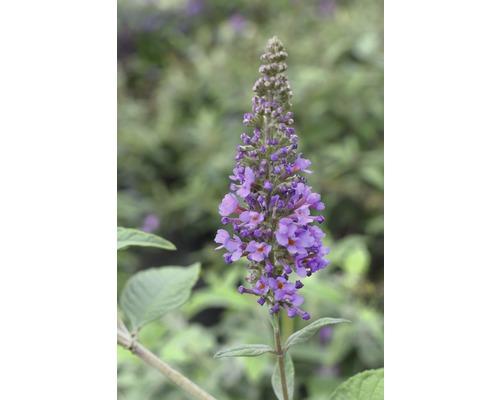 Buddleja FloraSelf Buddleja davidii POQUITO ® Lavender Cupcake ® H env. 40 cm Co 4,5 l