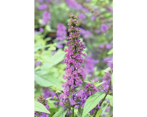 Buddleja FloraSelf Buddleja dav. POQUITO ®''Orchid Annie'' H env. 40 cm Co 4,5 l