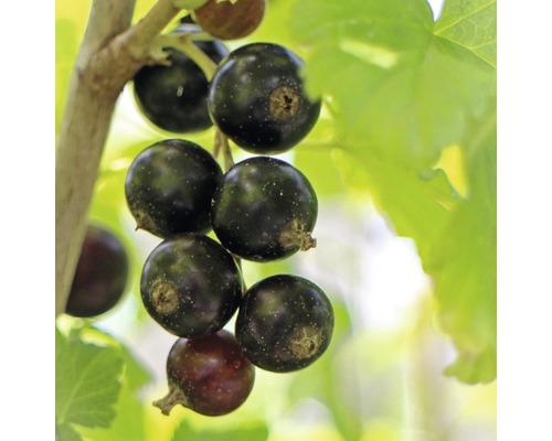 Groseillier noir Hof:fruit Ribes nigrum ''Bona'' ® H 30-40 cm Co 3,4 l
