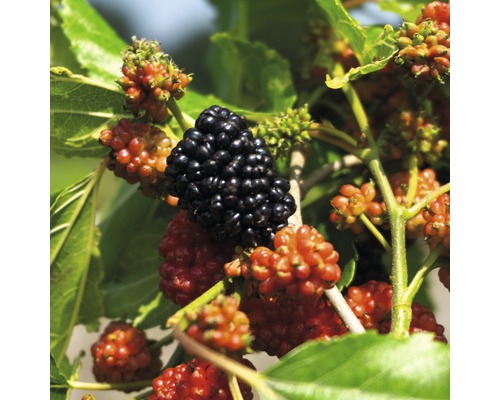 Mûrier rouge en espalier Hof: fruit Morus rotundifolia ''Mojo Berry'' ® H60-70 cm Co 6 l