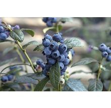 Heidelbeere BrazelBerry ® 'Perpetua' ® H 20-25 cm Co 4,5 L-thumb-0