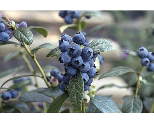 Myrtillier commun BrazelBerry ® ''Perpetua'' ® H 20-25 cm Co 4,5 l