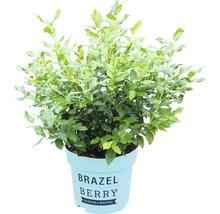 Heidelbeere BrazelBerry ® 'Perpetua' ® H 20-25 cm Co 4,5 L-thumb-1