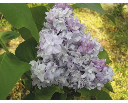 Lilas commun FloraSelf Syringa vulgaris ''Katherine Havemeyer'' H 40-60 cm Co 3 l
