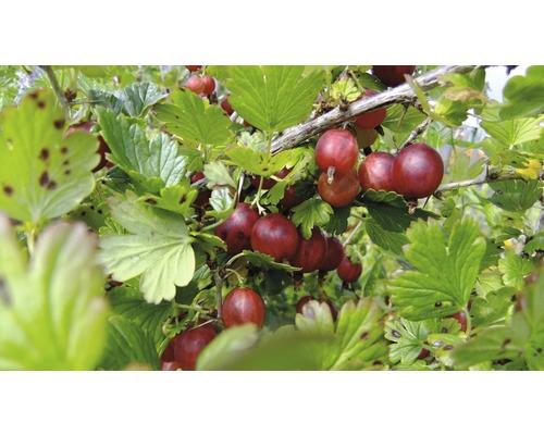 Groseillier à maquereaux Hof:fruit Ribes uva-crispa ''Lady Late'' H 30-40 cm Co 3,4 l