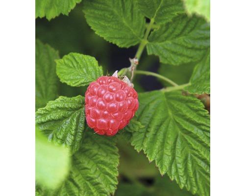 Framboisier BrazelBerry ® ''Raspberry Shortcake'' ® H 25-30 cm Co 4,5 l
