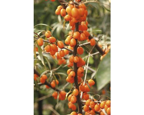 Argousier Hof: fruit Hippophae rhamnoides ''Friesdorfer Orange'' H 40-60 cm Co 3 l