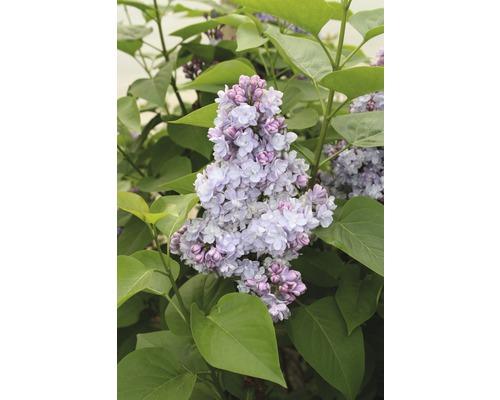 Lilas commun FloraSelf Syringa vulgaris ''Belle de Nancy'' H 40-60 cm Co 3 l