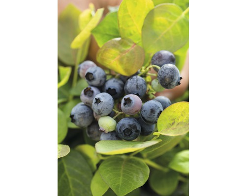 Myrtillier commun BrazelBerry ® ''Pink Breeze'' ® H 20-25 cm Co 4,5 l