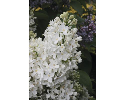 Lilas commun FloraSelf Syringa vulgaris Hybrid ''Primrose'' H 40-60 cm Co 3 l