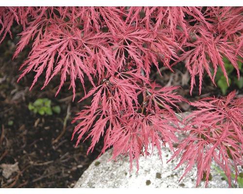 Érable du Japon pourpre FloraSelf Acer palmatum ''Garnet'' petit tronc d''env. 90 cm Co 20 l