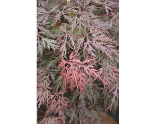 Érable palmé du Japon FloraSelf Acer palmatum ''Orangeola'' petit tronc d''env. 90 cm Co 20 l